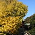 鎌倉:鶴岡八幡宮・大銀杏
