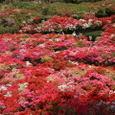 葉山:花の木公園・ツツジ