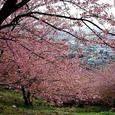 松田山・河津桜