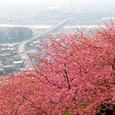 松田町・河津桜