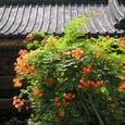 ノウゼンカズラ(鎌倉・妙本寺)