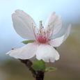 フユザクラ(冬桜)
