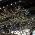 鎌倉:長谷寺(ロウバイ)