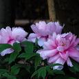 鎌倉:鶴岡八幡宮・ぼたん庭園