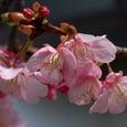 鎌倉宮:河津桜