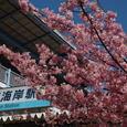 三浦海岸:桜まつり
