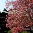 鎌倉:海蔵寺・カイドウ