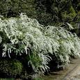 鎌倉:海蔵寺・ユキヤナギ