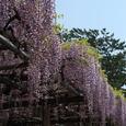 小田原城址公園:御感の藤