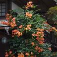 鎌倉:海蔵寺・ノウゼンカズラ