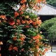 鎌倉:妙本寺・ノウゼンカズラ