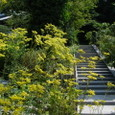 鎌倉:来迎寺・オミナエシ