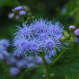 ユーパトリウム(青色フジバカマ)