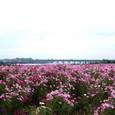 平塚:馬入のお花畑