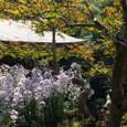 鎌倉:海蔵寺・シオン