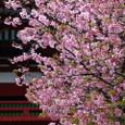鎌倉:鶴岡八幡宮(河津桜)
