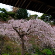 鎌倉:長谷寺・枝垂れ桜