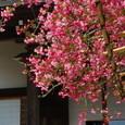 鎌倉:光則寺・カイドウ