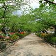 鎌倉:鶴岡八幡宮・段葛