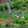 鎌倉:海蔵寺(カキツバタ)