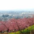 松田:河津桜