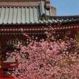 鎌倉:鶴岡八幡宮・河津桜