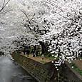 大和:引地川千本桜