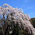 枝垂桜(平塚総合公園)