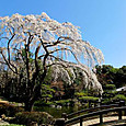 枝垂れ桜(平塚総合公園:日本庭園)