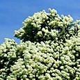 ティーツリーの花